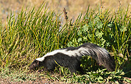 Striped Skunk, Mephitis mephitis
