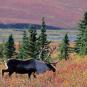 Barren Ground Caribou (Rangifer arcticus) bull in autumn hued tundra during the fall.