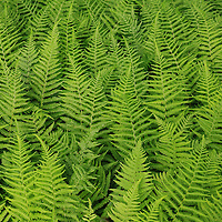 """""""Feathered Green""""<br /> <br /> Beautiful green ferns in a layered nature abstract!"""