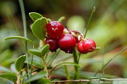 Rode bosbes, Vaccinium vitis-idaea