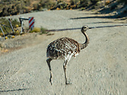 Rhea pennata is also called Darwin's rhea, lesser rhea, choique, and ñandu. Location: Ruta 97 near Cave of Hands, in Argentina, Patagonia, South America. The rheas are large ratites (flightless birds without a keel on their sternum bone) in the order Rheiformes, native to South America.