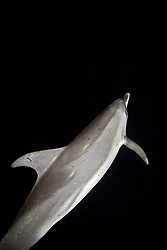 Atlantic Spotted Dolphin, Stenella frontalis, hunting for squid and fish which gather around boat light at night, West End, Grand Bahamas, Caribbean, Atlantic Ocean