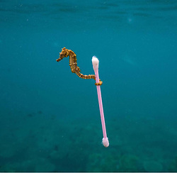 """Kim Kardashian releases a photo on Twitter with the following caption: """"""""Look at this little seahorse swimming in our polluted waters. This is the 🌎 we are creating.                        📸 Justin Hoffman"""""""". Photo Credit: Twitter *** No USA Distribution *** For Editorial Use Only *** Not to be Published in Books or Photo Books ***  Please note: Fees charged by the agency are for the agency's services only, and do not, nor are they intended to, convey to the user any ownership of Copyright or License in the material. The agency does not claim any ownership including but not limited to Copyright or License in the attached material. By publishing this material you expressly agree to indemnify and to hold the agency and its directors, shareholders and employees harmless from any loss, claims, damages, demands, expenses (including legal fees), or any causes of action or allegation against the agency arising out of or connected in any way with publication of the material."""