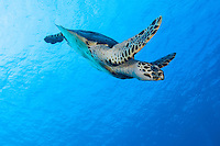 Hawskbill Sea Turtle<br /> <br /> Shot in Indonesia