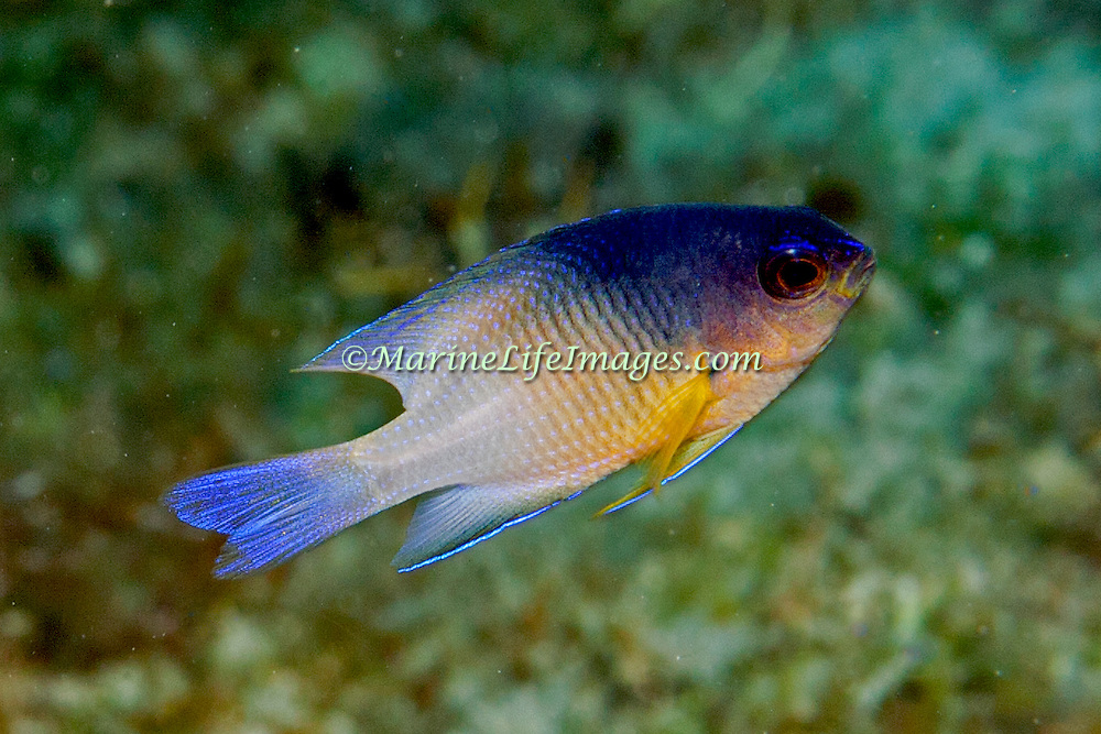 Bicolor Damsilfish inhabit patch reefs and areas of sand and coral rubble, in Tropical West Atlantic; picture taken Anguilla.