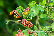 01618-01411 Orchard Oriole (Icterus spurius) female getting nectar on Dropmore Scarlet Honeysuckle Lonicera x brownii Marion Co. IL
