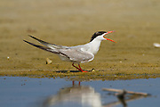 Common tern (Sterna hirundo) Screeching on a beach. This seabird is found in the sub-arctic regions of Europe, Asia and central North America. It migrates to the subtropical and tropical oceans. The common tern grows up to 37 centimetres with a wingspan of 70- 80 centimetres. Photographed in Israel