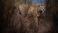 NEW YORK  2020V10<br /> Tiger. Utställningar på Naturhistoriska museet i New York.<br /> <br /> Foto: Per Danielsson/Projekt.P
