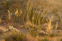These desert plants at the base of Mastodon Peak were looking nice in the early morning light. The ocotillo was green with blooming flowers after rainfall a couple weeks ago.
