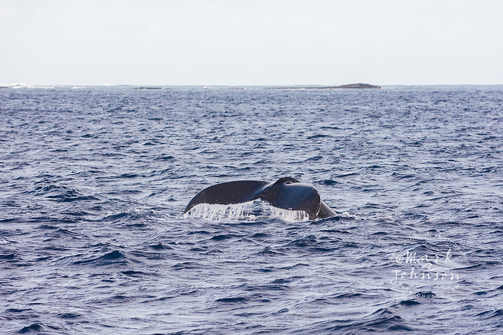 Humpback whale fluke (tail), off of Niihau, Hawaii