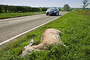 Car drives past dead deer on country road, Charlbury, Oxfordshire, United Kingdom