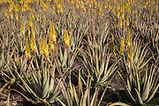 Aloe vera plants growing in field, Oliva, Fuerteventura, Canary Islands, Spain