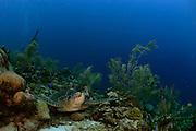 Sleeping or resting Green sea turtle (Chelonia mydas) | Ruhende oder schlafende Grüne Meeresschildkröte (Chelonia mydas) an ihrem Ruheplatz. Sie kehren zum Schlafen oft an die gleichen Stellen zurück. Manche Bereiche im Riff sind dadurch regelrecht freigescheuert. Atlantic, Bonaire, Leeward Antilles, Caribbean region, Netherlands Antilles