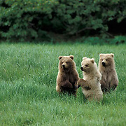 Alaskan Brown Bear, (Ursus middendorffi) Spring cubs standing up on haunches for better view.