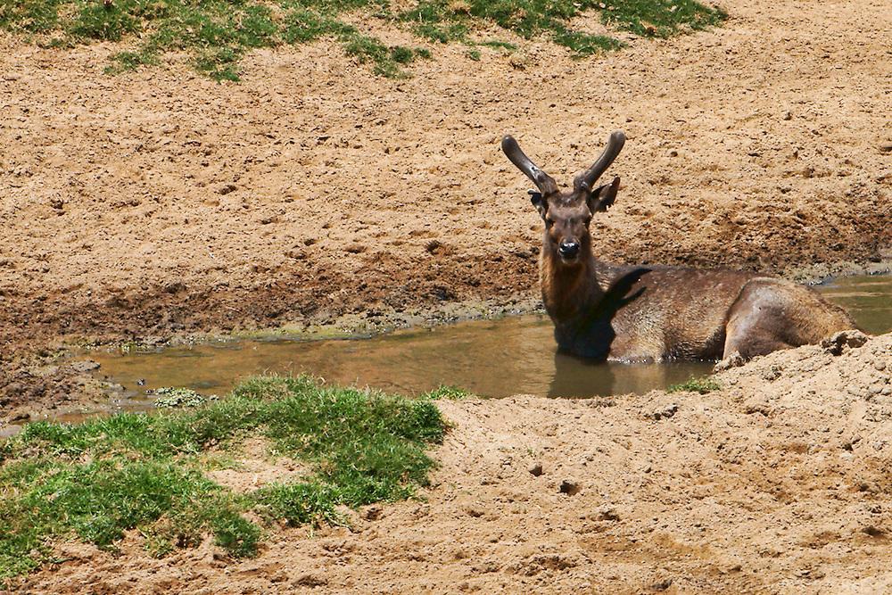 Spiral-Horned Antelope