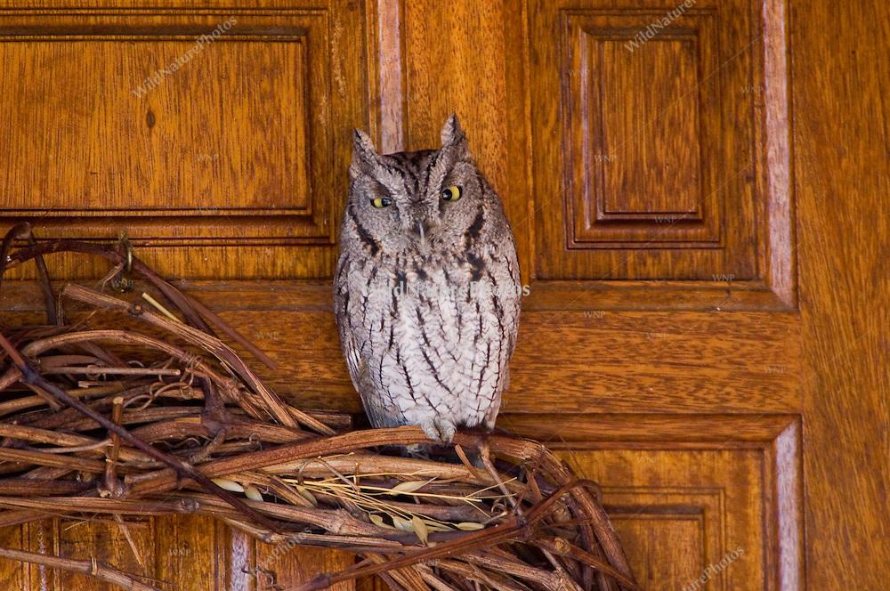 Western Screech Owl Wreath Ornament, Megascops kennicottii; Tucson, Arizona