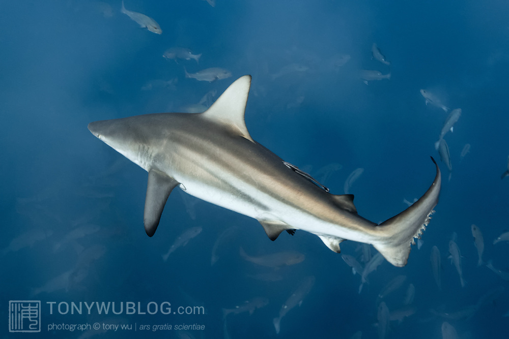 Thousands of spawning Lutjanus bohar snapper attract a number of predators, such as this blacktip shark (Carcharhinus limbatus) swimming through at rapid speed. Clouds of sperm and eggs and low light in the early morning result in low visibility, making ambush easy.