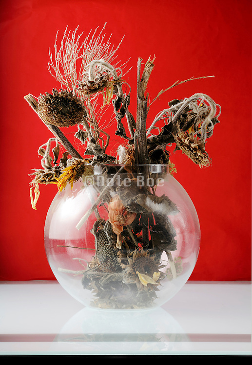 dried up dead sunflowers in a round vase with red background