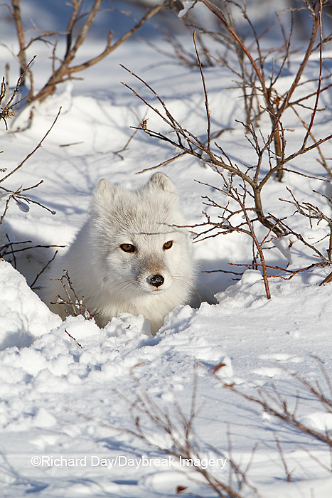 01863-01114 Arctic Fox (Alopex lagopus) in snow in winter, Churchill Wildlife Management Area, Churchill, MB Canada