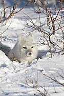 01863-01114 Arctic Fox (Alopex lagopus) in snow in winter, Churchill Wildlife Management Area, Churchill, MB Canada