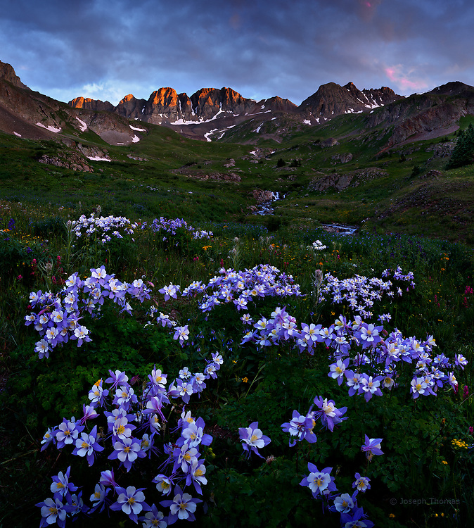 An explosion of Colorado Columbine, the state's official flower.