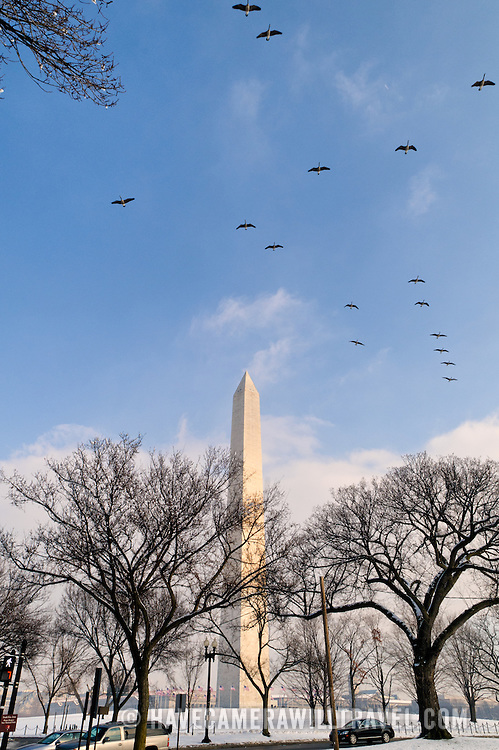 The Washington Monument stands out against a clearing blue sky after a recent snow storm dumped more than a foot of snow on the area. A flock of geese flies overhead.