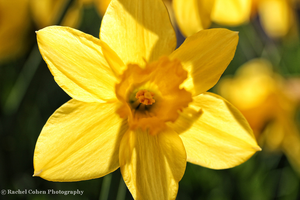 """""""Back Lit Petals""""<br /> <br /> <br /> Flowers by Rachel Cohen"""