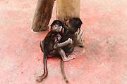 HANGZHOU, CHINA - SEPTEMBER 17: (CHINA OUT) <br /> <br /> Baby Baboon Sisters <br /> <br /> Baby sisters of hamadryas baboon play together at Hangzhou Safari Park on September 17, 2014 in Hangzhou, Zhejiang province of China. Two hamadryas baboons lived together for almost a month at Hangzhou Safari Park.<br /> ©Exclusivepix
