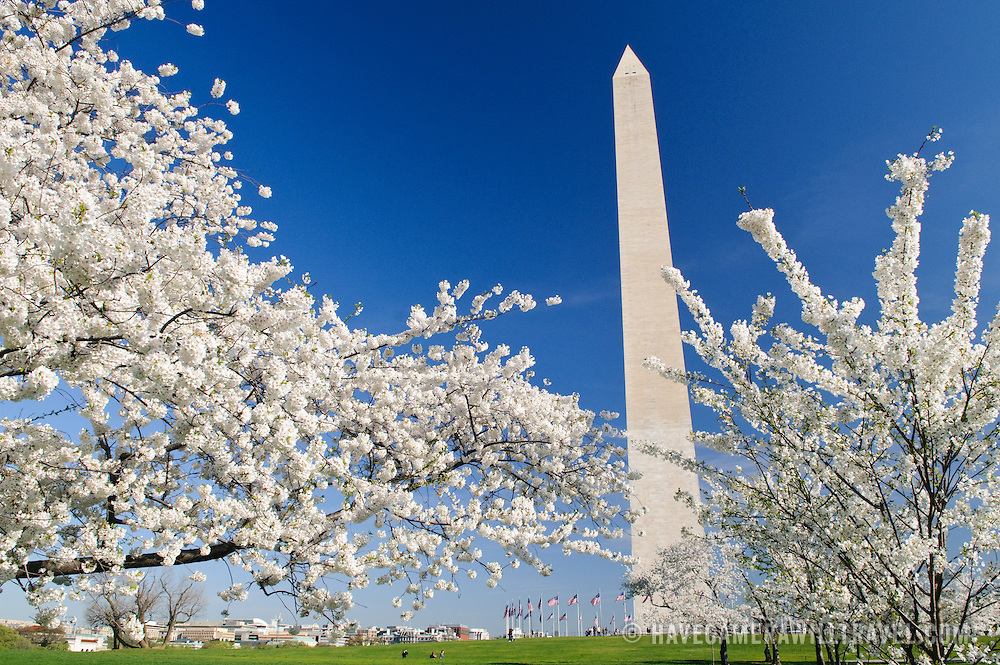 Washington Monument and some of the 3700 Cherry Blossom trees blooming in early spring around the Tidal Basin next to Washington's National Mall