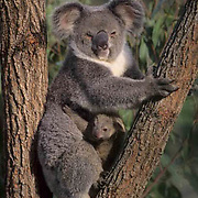 Koala, (Phascolarctos cinereus) Mother and newborn baby. Australia  Captive Animal.