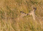 Black-tailed Deer, Odocoileus hemionus