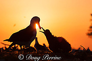 Laysan albatross, Phoebastria immutabilis, chick begging to be fed at sunrise, Sand Island, Midway Atoll, Midway National Wildlife Refuge, Papahanaumokuakea Marine National Monument, Northwest Hawaiian Islands, USA ( North Pacific Ocean )