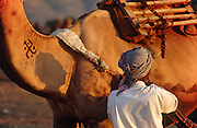 Camel trader departing the Pushkar Fair, Rajasthan, India
