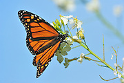 close-up of fedding monarch butterfly on a white flower with blue sky background.
