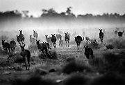 Kangaroos on Oxley Station in the Macquarie Marches in drought effected Western New South Wales Australia.