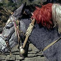 NEPAL, HIMALAYA. Mule in caravan down Kali Gandaki gorge, wearing a muzzle & traditional ornamentation, bridle & bell.