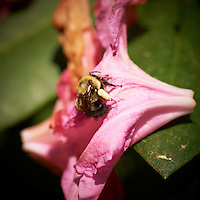 Bumble Bee Working Old Rhododendron Flower for Pollen. Image taken with a Nikon D3x and 105 mm f/2.8 AF-S VR Macro + TC-E 20 teleconverter (ISO 100, 210 mm, f/7.1, 1/200 sec).
