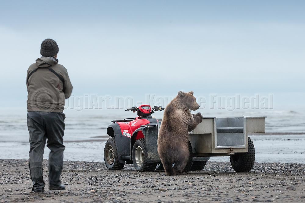 Naughty bear is exploring the ATV trailer | Uskikkelig bjørn utforsker tilhengeren på ATV'en.