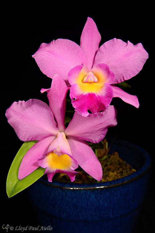 """A Cattleya Laleliocattleya hybrid orchid bloomed by the photographer.  Cattleya is a genus of 113 species of orchids found from Costa Rica to tropical South America. The genus was named in 1824 by John Lindley after Sir William Cattley who was the first to bloom a specimen of Cattleya labiata. William Swainson had discovered the new plant in Pernambuco, Brazil, in 1817 and shipped it to the Glasgow Botanic Gardens for identification.  Later, Swainson requested that a few plants be sent to Cattley who was able to bloom one a full year before the plants in Glasgow. It would be another 70 years before a Cattleya would be rediscovered in the wild because of a mixup in the assumed location of the plants. <br /> <br /> Cattleya are widely known for their large, showy flowers. The flowers of the hybrids can vary in size from 2 - 6 inches (5 -15 cm). They occur in all colors except true blue and black.  Cattleya have been hybridized for more than a century.  Beeding Cattleya with Laelia produces Laleliocattleya  and results in a more elongated closed """"cone"""" that gracefully opens into the full lip of the blossom.  Laelia also contributes to the intense violet shade."""