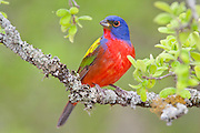Painted bunting male during breeding season in Texas