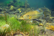 Largemouth Bass On nest with eggs<br /> <br /> Engbretson Underwater Photography