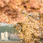 The Yoshino Cherry Blossom trees lining the Tidal Basin in Washington DC bloom each early spring. Some of the original trees from the original planting 100 years ago (in 2012) are still alive and flowering. Because of heatwave conditions extending across much of the North American continent and an unusually warm winter in the Washington DC region, the 2012 peak bloom came earlier than usual.
