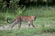 Leopard, Panthera pardus on hunt near Lebala Camp, Okavango