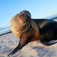 South America, Ecuador, Galapagos. Sea Lion itching head on Mosquera Island.