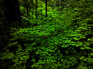 Vine Maple (Acer circinatum) understory in the forest on the Kitsap Peninsula in Puget Sound, Washington state, USA