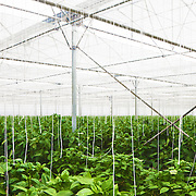 """The interior of an """"invernadero"""" located in the province of Almeria, Spain. These plastic greenhouses blanket the land with plants being grown all year round for intensive vegetable production."""