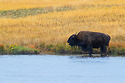 A bison (Bison bison) stands in the Firehole River in the early autumn in Fountain Flat, Yellowstone National Park, Wyoming.
