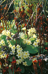 Primula vulgaris - primrose - growing amongst emerging peony shoots at Great Dixter