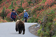 Two hiking ladies  meet a black bear cub along the trail in the Paradise Meadows in Mount Rainier National Park, WA, USA.