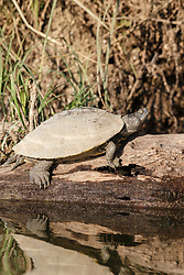 Turtle on log, photographed from kayak on Trinity River near downtown Fort Worth and the Trinity Trails, Fort Worth, Texas, USA.